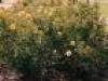 Zonta Rose Garden